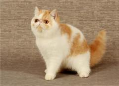 加菲猫为什么不能养 为什么不建议养加菲猫 新手养加菲猫注意事项