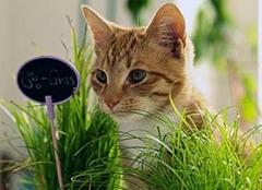 猫薄荷是什么东西 干猫薄荷怎么给猫用 猫薄荷粉末怎么使用