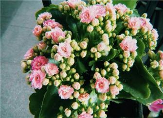 长寿花的养殖方法和注意事项 长寿花冬季怎么养殖 长寿花为什么致癌