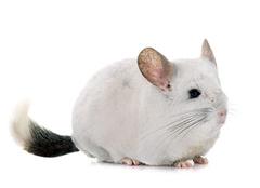纯白龙猫怎么配出来的 纯白龙猫可以和什么颜色配 纯白龙猫饰极品银斑