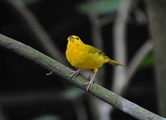 金丝雀是什么鸟 金丝雀是保护动物吗 金丝雀是几级保护动物
