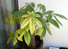 发财树叶子发黄怎么回事 发财树冬天怎么养才能安全过冬 发财树的养殖方法和注意事项