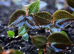金线莲的功效与作用 金线莲怎么吃效果最好 金线莲价格多少钱一斤