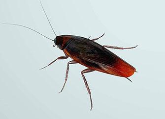 家里很干凈突然出現一只蟑螂 高樓層的蟑螂從哪里來的 家里出現蟑螂預示什么