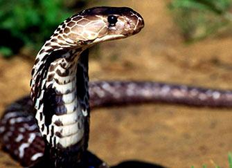 梦到满地都是蛇是什么意思 做梦梦到被蛇追着跑是什么意思 梦到蛇缠身预示着什么