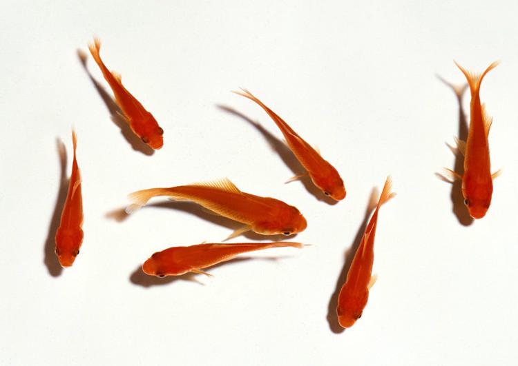 可以用自来水养小金鱼吗?