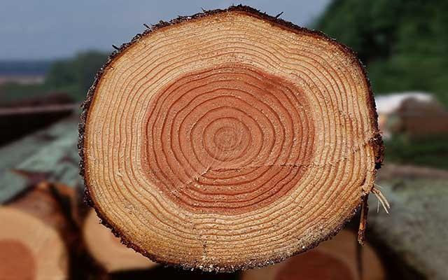 树木的年轮是怎样形成的?