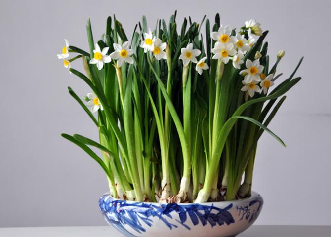 水仙花花开是什么时候?