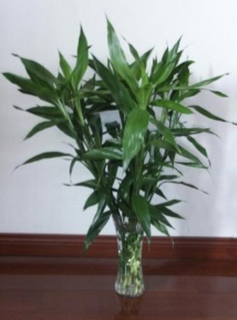 富贵竹怎么养?