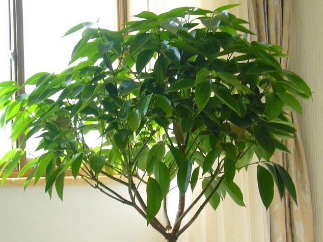 请问平安树的养殖方法和注意事项是什么呀?