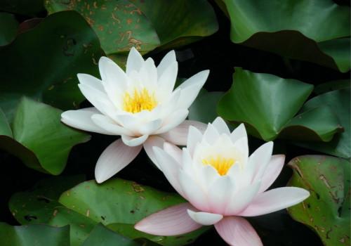 武汉睡莲的种植方法有哪些?