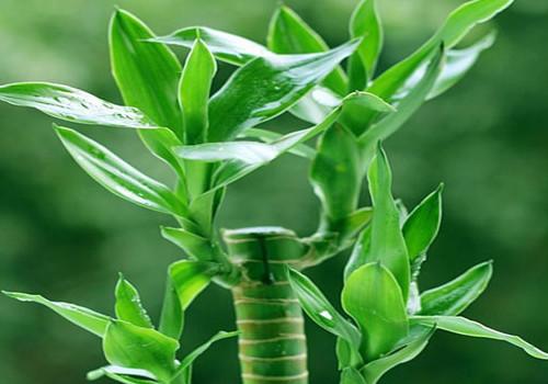 富贵竹怎么养,养殖的技巧又是什么?