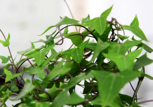 常春藤的养殖方法有哪些?