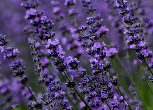 薰衣草的花语有哪些?