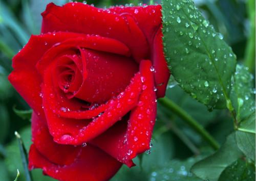 不同朵数的玫瑰花花语,你都知道么?