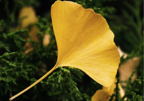 银杏叶片的功效与作用有哪些?