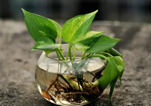 绿萝的养殖方法和注意事项有哪些?