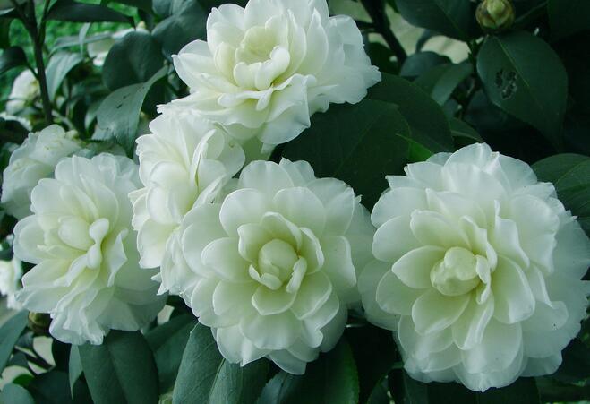 山茶花怎么种植?