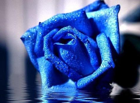 蓝色妖姬是什么花?