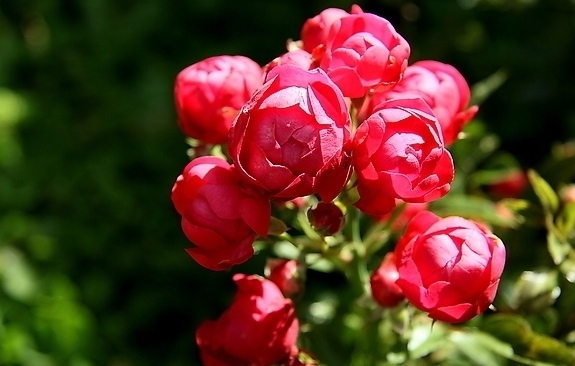 蔷薇和玫瑰是属于同科吗?