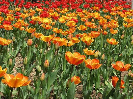 郁金香的花语是什么?
