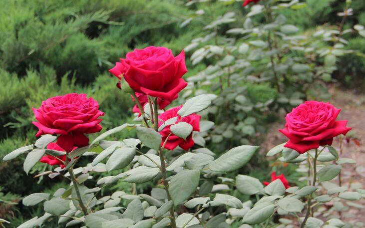 月季花有哪些品种?