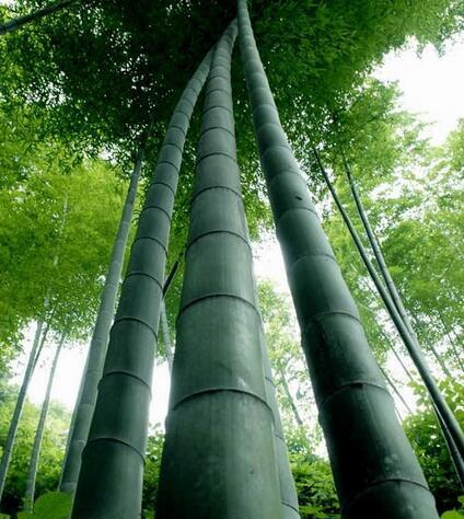 楠竹产地主要在哪里?