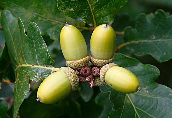 橡子树的果实能食用吗?