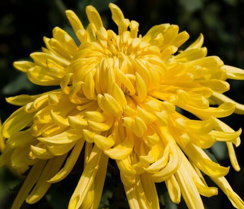 黄菊花是属于哪种科类?