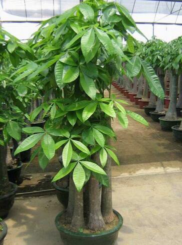 发财树要怎么栽培才好?