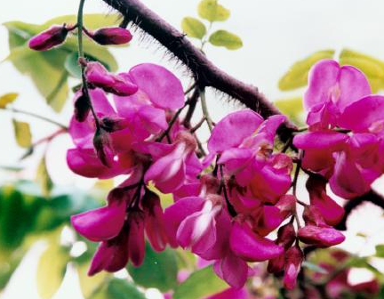 香花槐和红花刺槐的区别有哪些?