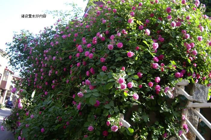 爬墙月季一年四季都可以栽种吗?