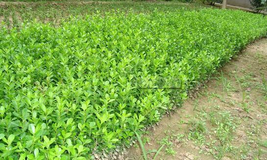 泰州银杏树苗的价格高吗?