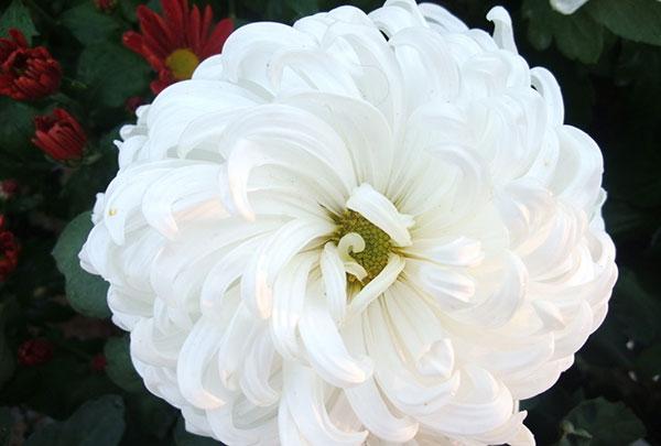白色菊花的特点是什么?