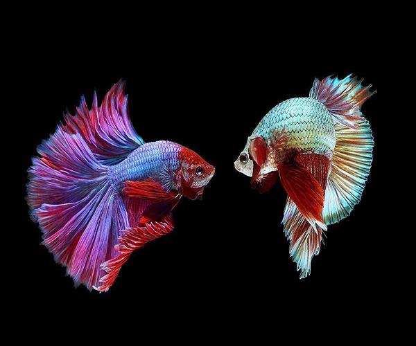 养斗鱼对家里风水好吗 斗鱼怎么养才不容易死 斗鱼饲养方法及注意事项