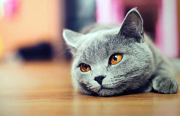 家里養貓對財運好不好 貓是招鬼還是辟邪的 家里養貓有什么風水說法