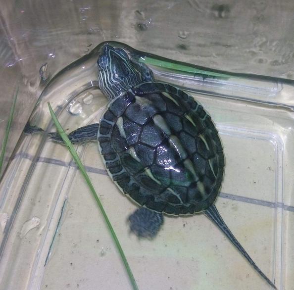养乌龟有什么禁忌 家里养乌龟对女人不好的说法 家里养乌龟风水