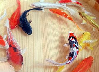 錦鯉什么顏色最招財 錦鯉養幾條最吉利 錦鯉怎么養才不容易死