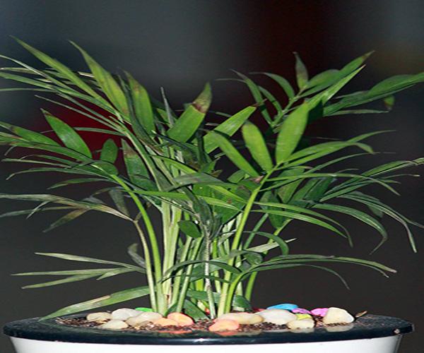 家养植物风水