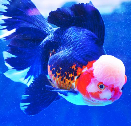 金鱼养几条风水好 金鱼为什么养单不养双 十大养不死的热带鱼