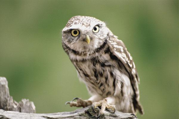 猫头鹰是保护动物吗 猫头鹰是几级保护动物 捕猫头鹰什么罪判刑几年