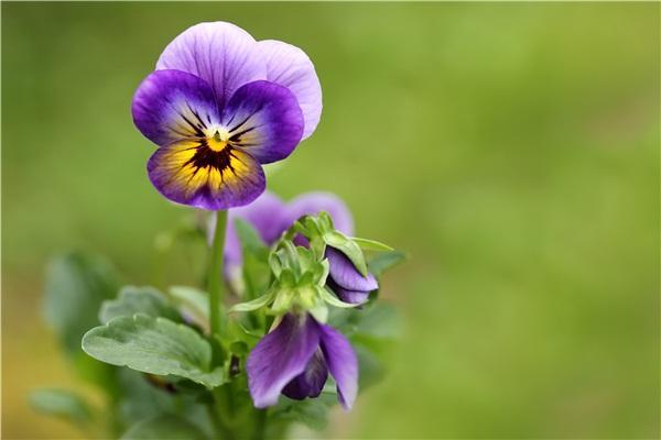 三色堇可以吃吗 三色堇什么时候播种 三色堇种子怎么种植