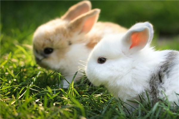 兔子公母怎么区分 兔子公母有几种分辨法 成年兔子怎么看公母