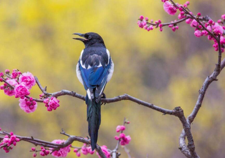 喜鹊窝的风水说法 为什么不能养喜鹊 喜鹊来院子里什么预兆