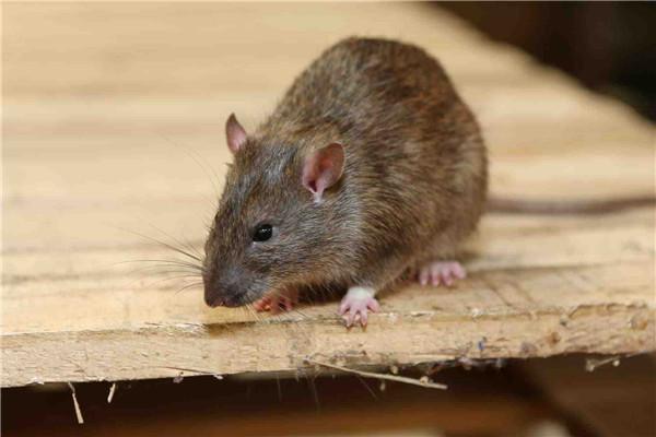 女人夢見老鼠什么征兆 女人夢見老鼠是胎夢嗎 女人夢見老鼠要生女兒嗎