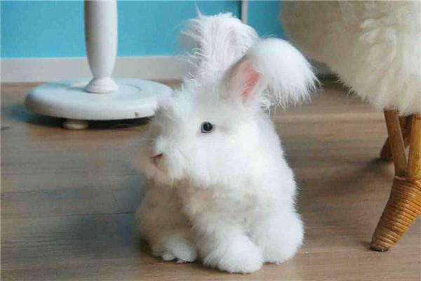 巨型安哥拉兔