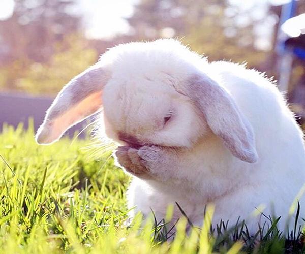 法国垂耳兔