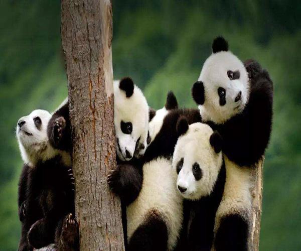 成都熊貓基地