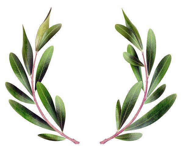 橄榄枝象征着什么意义 叼着橄榄枝的鸽子象征什么 抛橄榄枝是什么意思