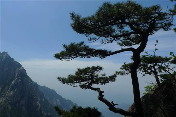 松樹的寓意象征